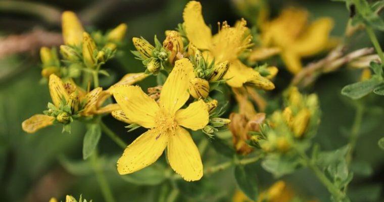 Liečivé rastliny zvášho záhona