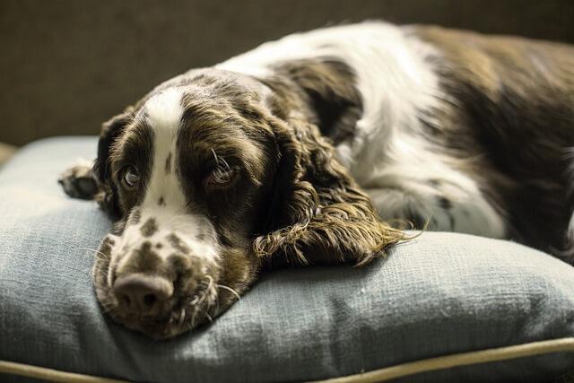 Matrac ako alternatíva ku pelechu pre psa