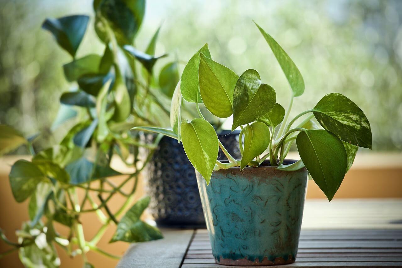 Obľúbené popínavé ťahavé izbové rastliny